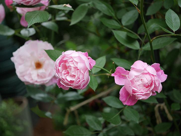 モーティマー・サックラー(Mortimer Sackler)の花がたくさん咲いた。ツルバラ。2020年-010.jpg