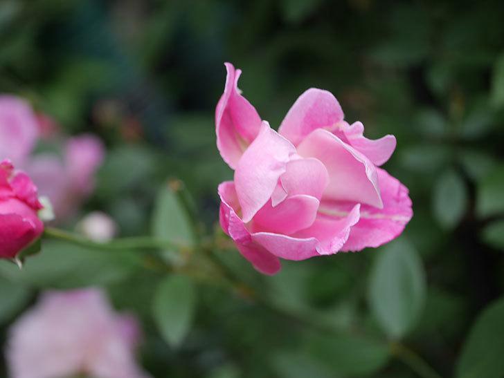 モーティマー・サックラー(Mortimer Sackler)の花がたくさん咲いた。ツルバラ。2020年-011.jpg