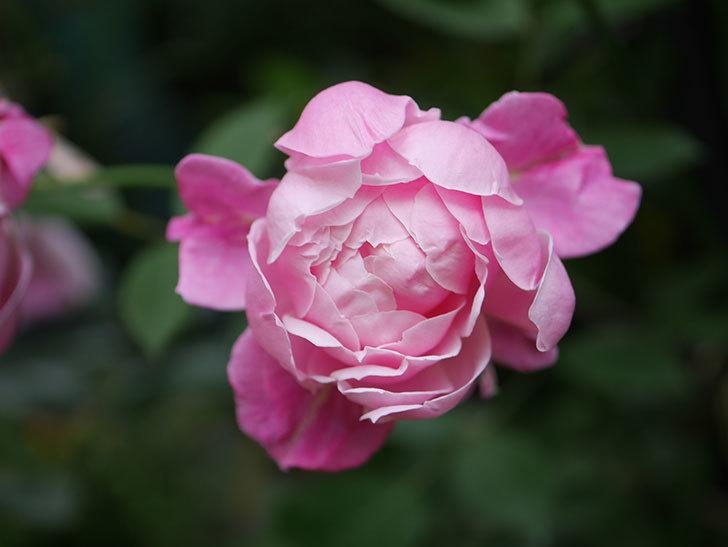 モーティマー・サックラー(Mortimer Sackler)の花がたくさん咲いた。ツルバラ。2020年-012.jpg