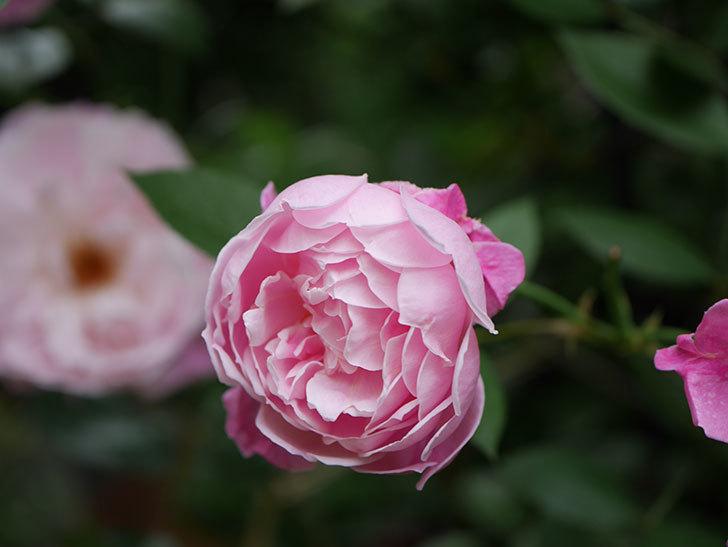 モーティマー・サックラー(Mortimer Sackler)の花がたくさん咲いた。ツルバラ。2020年-013.jpg