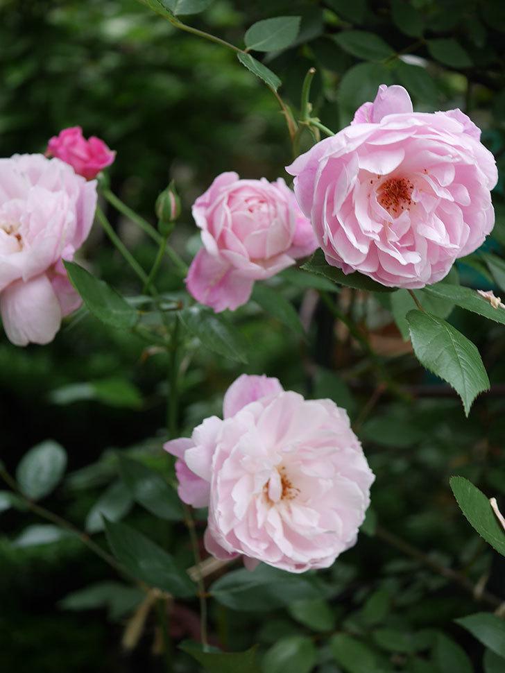 モーティマー・サックラー(Mortimer Sackler)の花がたくさん咲いた。ツルバラ。2020年-014.jpg