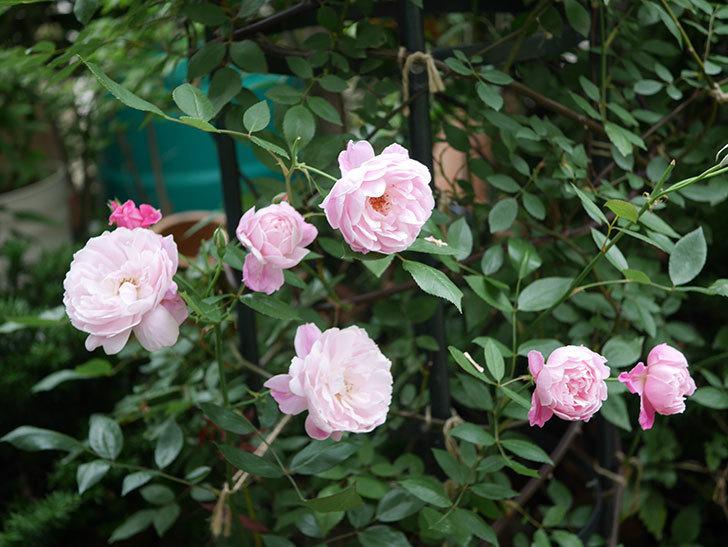 モーティマー・サックラー(Mortimer Sackler)の花がたくさん咲いた。ツルバラ。2020年-015.jpg