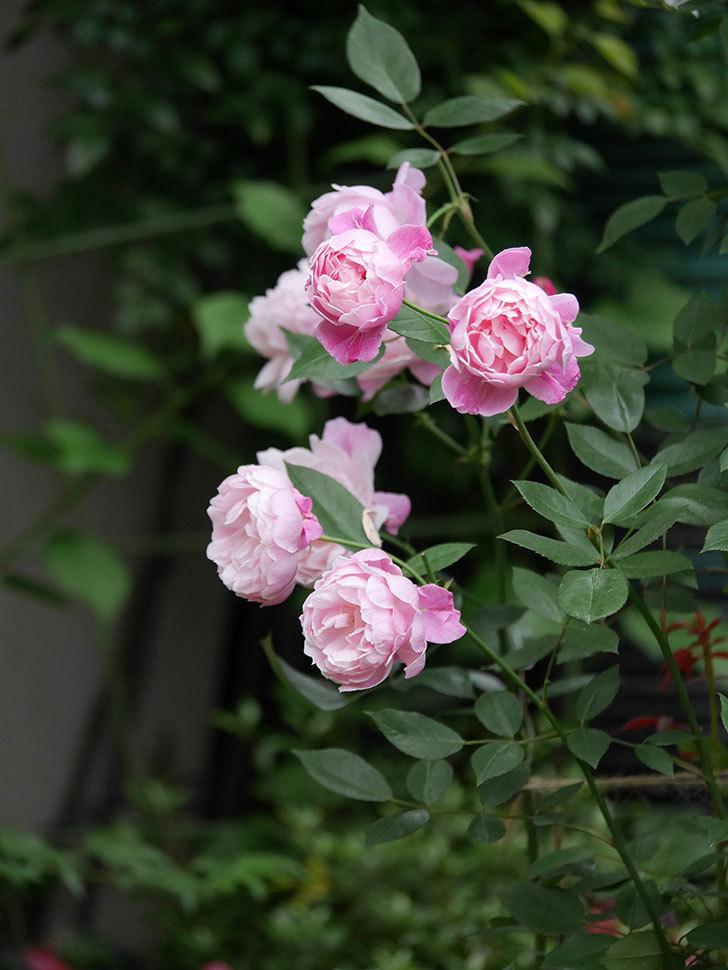 モーティマー・サックラー(Mortimer Sackler)の花がたくさん咲いた。ツルバラ。2020年-016.jpg