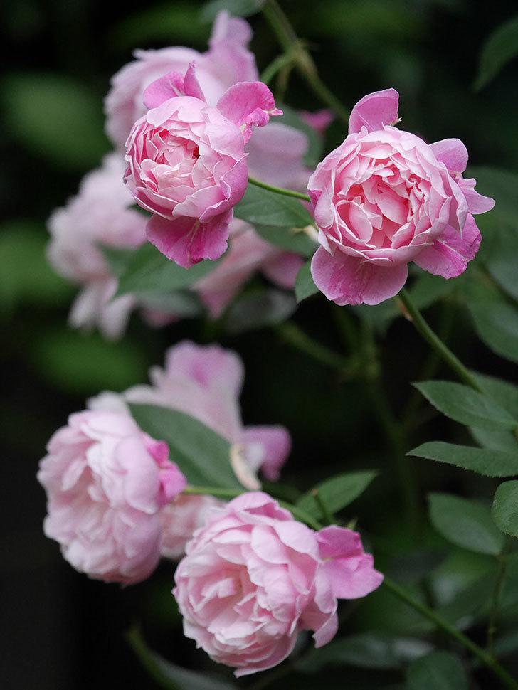 モーティマー・サックラー(Mortimer Sackler)の花がたくさん咲いた。ツルバラ。2020年-017.jpg
