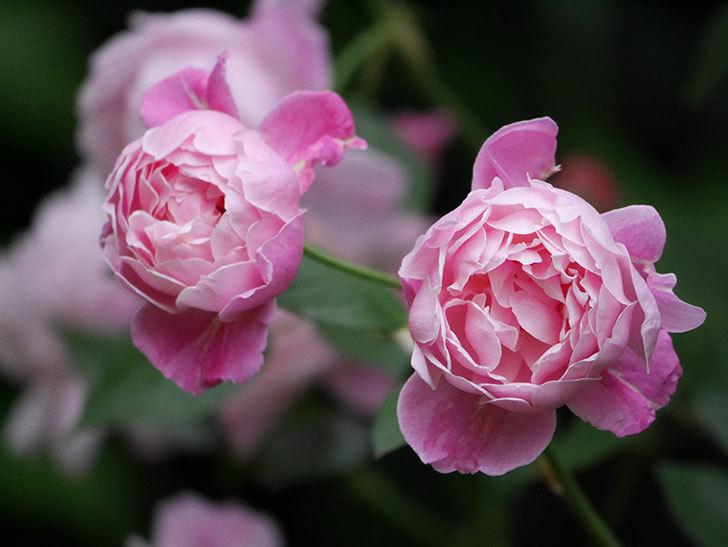 モーティマー・サックラー(Mortimer Sackler)の花がたくさん咲いた。ツルバラ。2020年-018.jpg