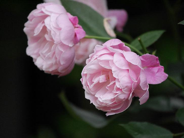 モーティマー・サックラー(Mortimer Sackler)の花がたくさん咲いた。ツルバラ。2020年-020.jpg
