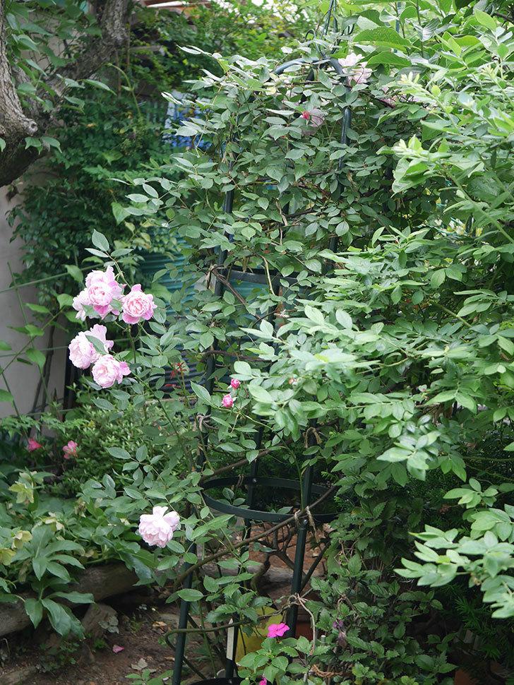 モーティマー・サックラー(Mortimer Sackler)の花がたくさん咲いた。ツルバラ。2020年-021.jpg