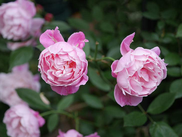 モーティマー・サックラー(Mortimer Sackler)の花がたくさん咲いた。ツルバラ。2020年-022.jpg