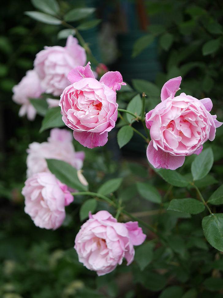 モーティマー・サックラー(Mortimer Sackler)の花がたくさん咲いた。ツルバラ。2020年-023.jpg