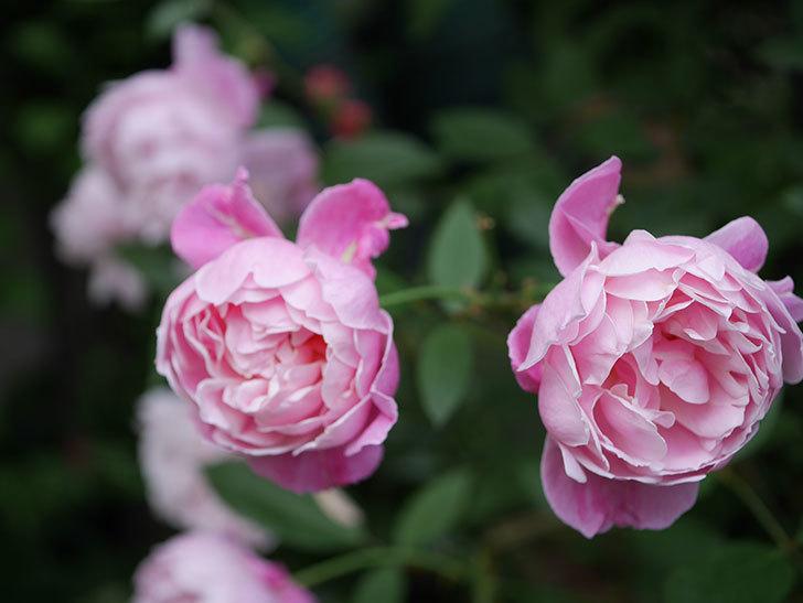 モーティマー・サックラー(Mortimer Sackler)の花がたくさん咲いた。ツルバラ。2020年-025.jpg