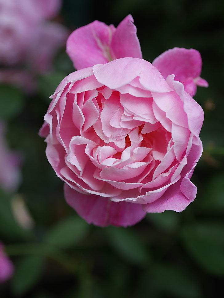 モーティマー・サックラー(Mortimer Sackler)の花がたくさん咲いた。ツルバラ。2020年-026.jpg