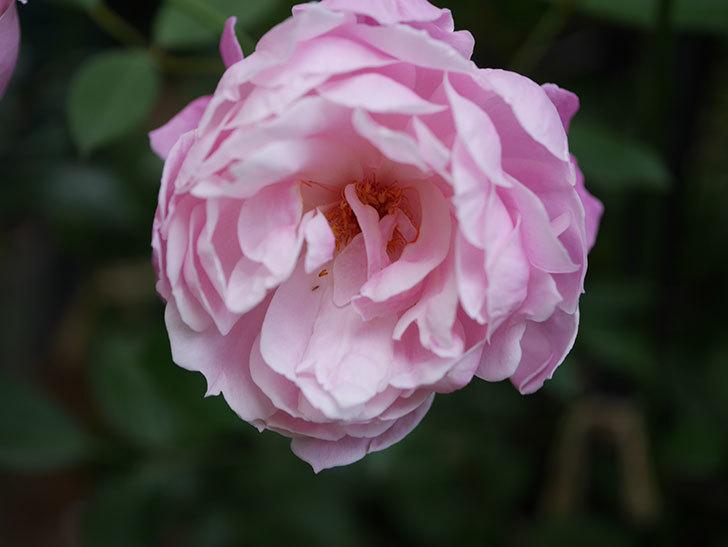モーティマー・サックラー(Mortimer Sackler)の花がたくさん咲いた。ツルバラ。2020年-027.jpg