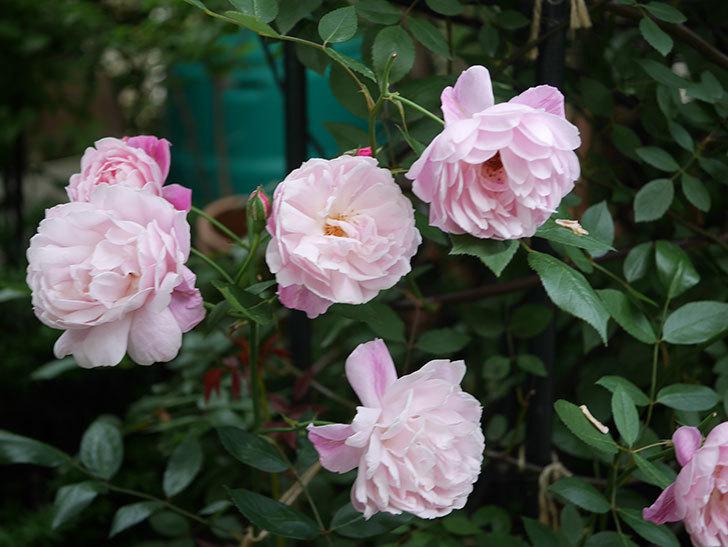 モーティマー・サックラー(Mortimer Sackler)の花がたくさん咲いた。ツルバラ。2020年-028.jpg