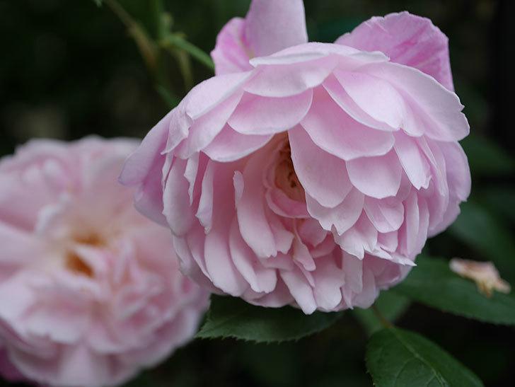 モーティマー・サックラー(Mortimer Sackler)の花がたくさん咲いた。ツルバラ。2020年-029.jpg