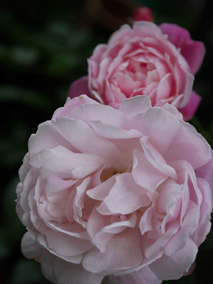 モーティマー・サックラー(Mortimer Sackler)の花がたくさん咲いた。ツルバラ。2020年-030.jpg
