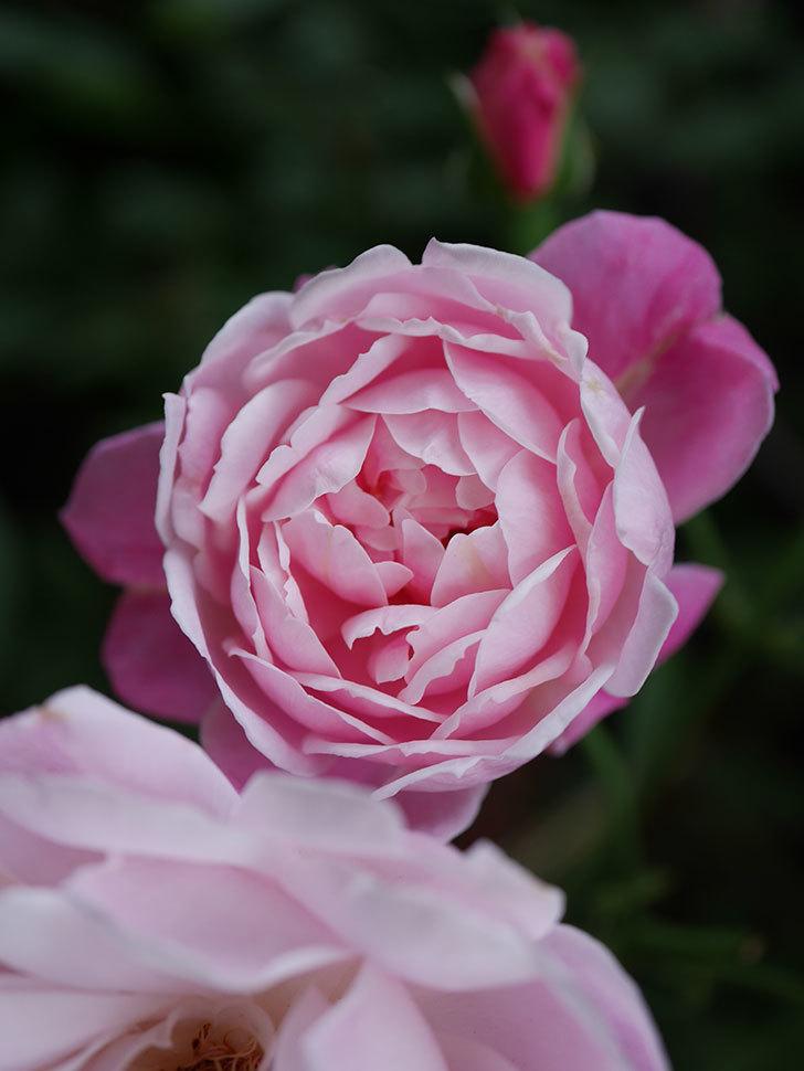 モーティマー・サックラー(Mortimer Sackler)の花がたくさん咲いた。ツルバラ。2020年-031.jpg
