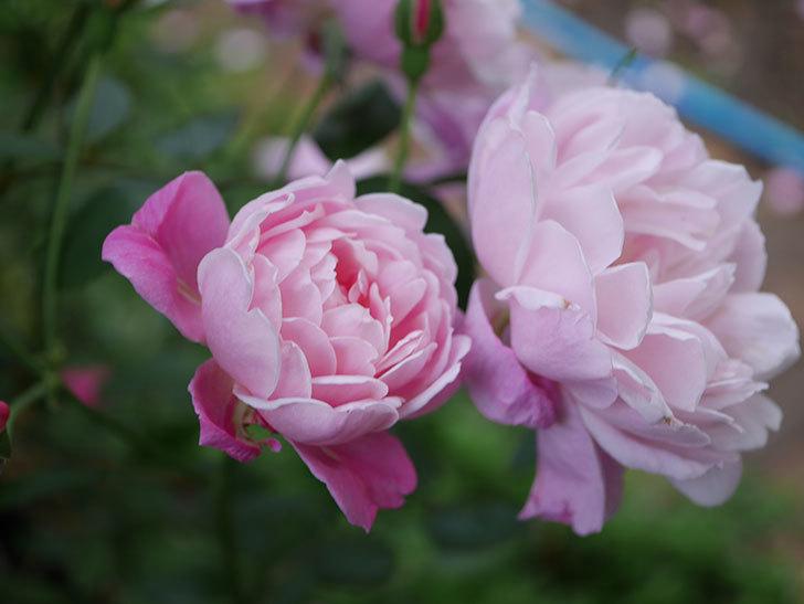 モーティマー・サックラー(Mortimer Sackler)の花がたくさん咲いた。ツルバラ。2020年-033.jpg