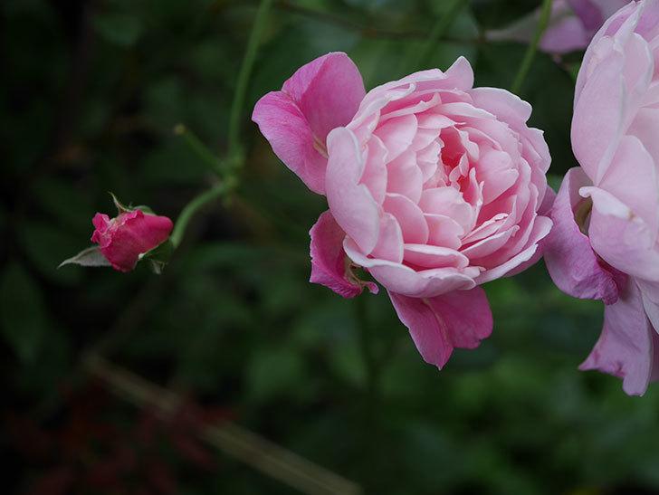 モーティマー・サックラー(Mortimer Sackler)の花がたくさん咲いた。ツルバラ。2020年-034.jpg