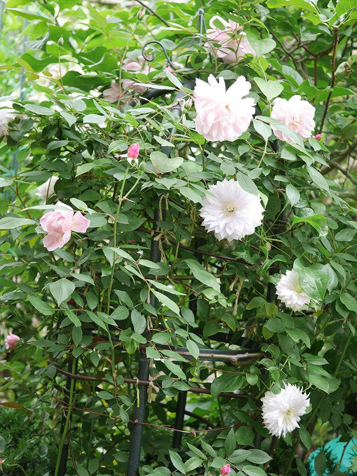 モーティマー・サックラー(Mortimer Sackler)の花が咲いた。ツルバラ。2021年-002.jpg