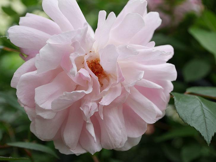 モーティマー・サックラー(Mortimer Sackler)の花が咲いた。ツルバラ。2021年-003.jpg