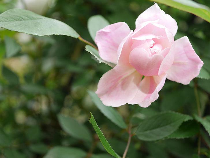 モーティマー・サックラー(Mortimer Sackler)の花が咲いた。ツルバラ。2021年-004.jpg