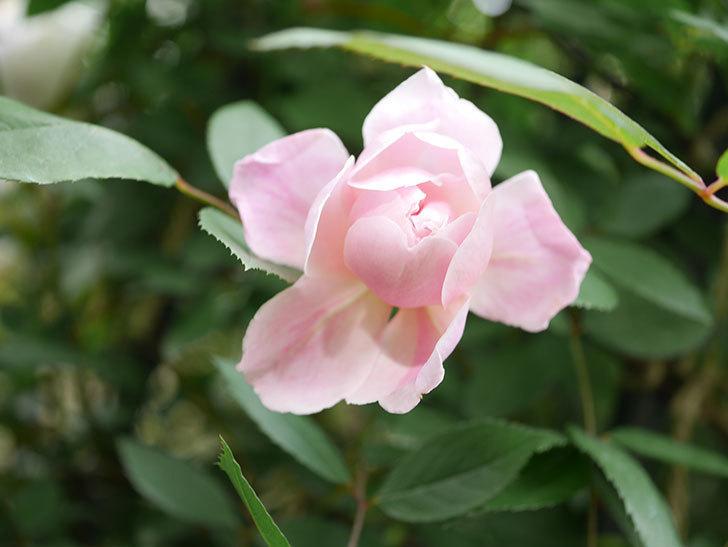 モーティマー・サックラー(Mortimer Sackler)の花が咲いた。ツルバラ。2021年-005.jpg