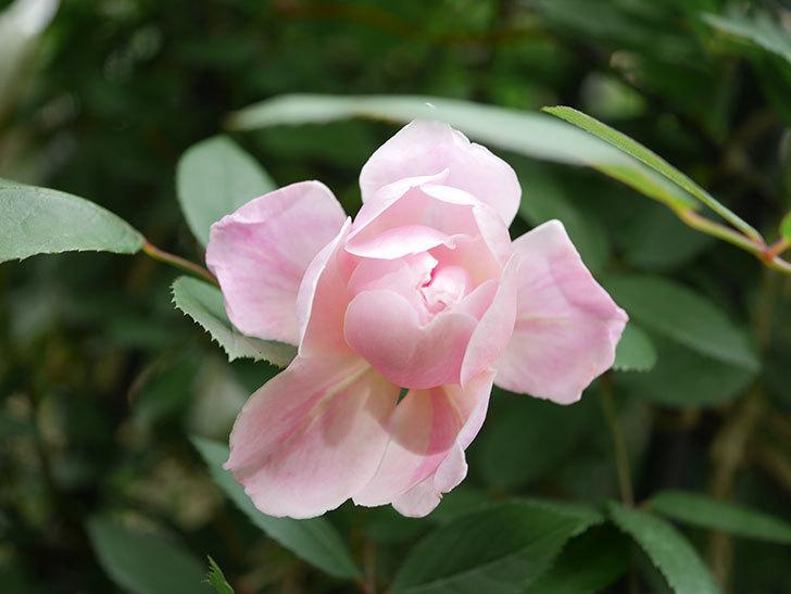 モーティマー・サックラー(Mortimer Sackler)の花が咲いた。ツルバラ。2021年-006.jpg