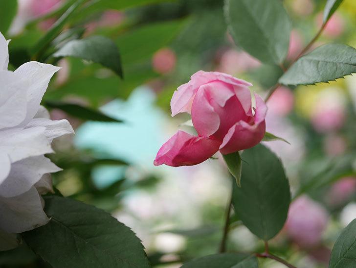 モーティマー・サックラー(Mortimer Sackler)の花が咲いた。ツルバラ。2021年-007.jpg
