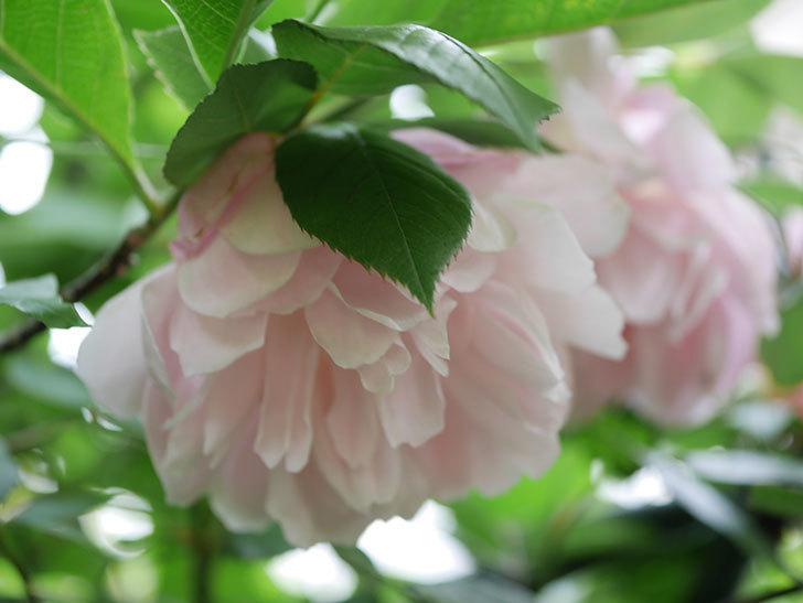 モーティマー・サックラー(Mortimer Sackler)の花が咲いた。ツルバラ。2021年-008.jpg