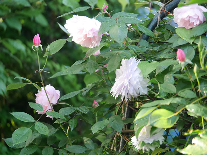 モーティマー・サックラー(Mortimer Sackler)の花が咲いた。ツルバラ。2021年-009.jpg