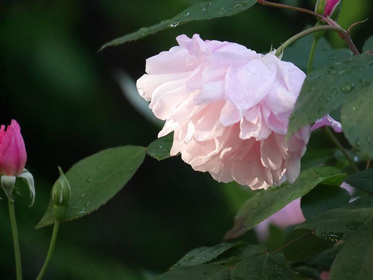 モーティマー・サックラー(Mortimer Sackler)の花が咲いた。ツルバラ。2021年-010.jpg