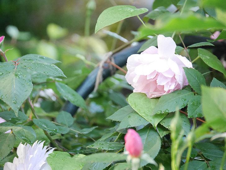 モーティマー・サックラー(Mortimer Sackler)の花が咲いた。ツルバラ。2021年-012.jpg