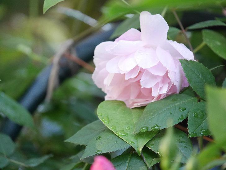 モーティマー・サックラー(Mortimer Sackler)の花が咲いた。ツルバラ。2021年-013.jpg