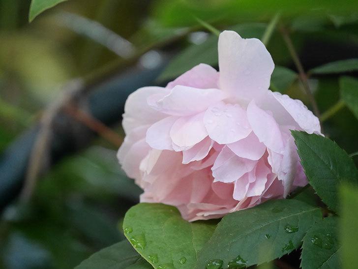 モーティマー・サックラー(Mortimer Sackler)の花が咲いた。ツルバラ。2021年-014.jpg