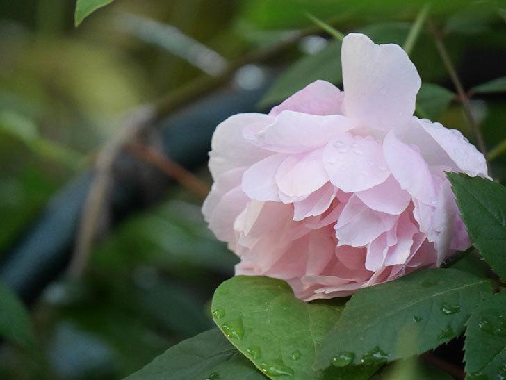 モーティマー・サックラー(Mortimer Sackler)の花が咲いた。ツルバラ。2021年-015.jpg