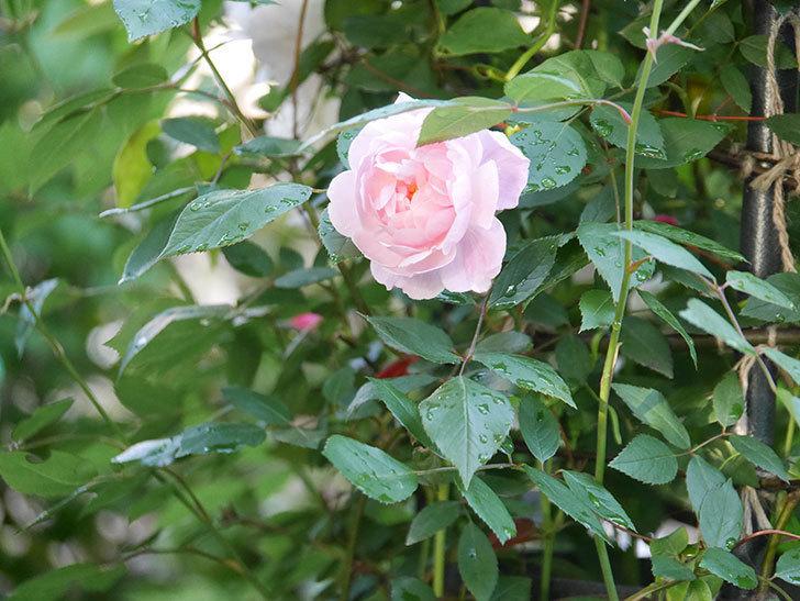 モーティマー・サックラー(Mortimer Sackler)の花が咲いた。ツルバラ。2021年-016.jpg
