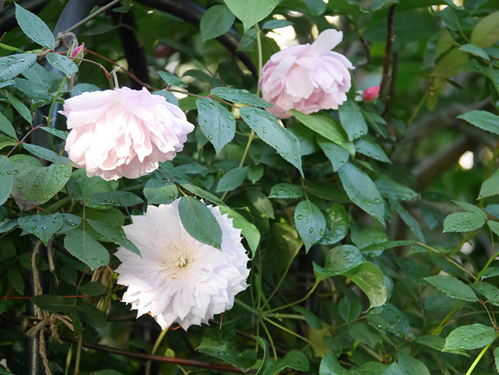 モーティマー・サックラー(Mortimer Sackler)の花が咲いた。ツルバラ。2021年-017.jpg