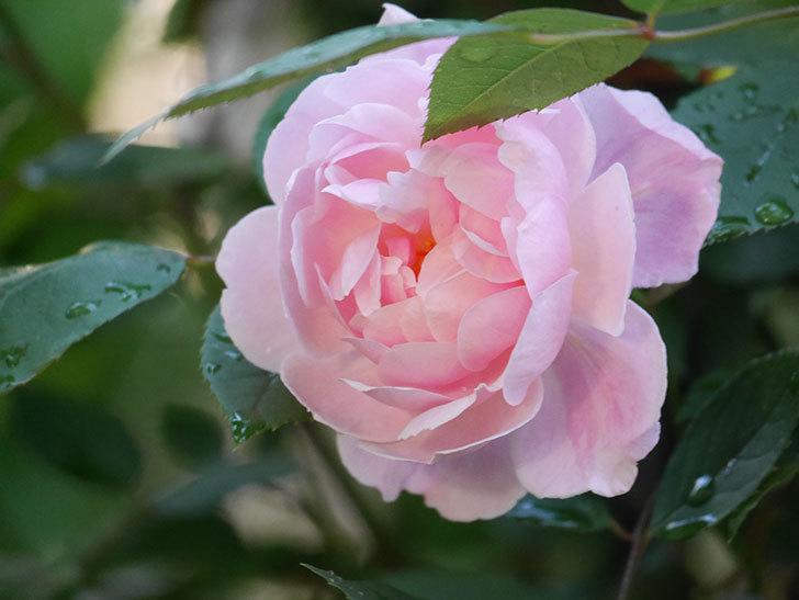 モーティマー・サックラー(Mortimer Sackler)の花が咲いた。ツルバラ。2021年-018.jpg