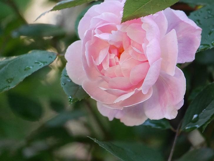 モーティマー・サックラー(Mortimer Sackler)の花が咲いた。ツルバラ。2021年-019.jpg