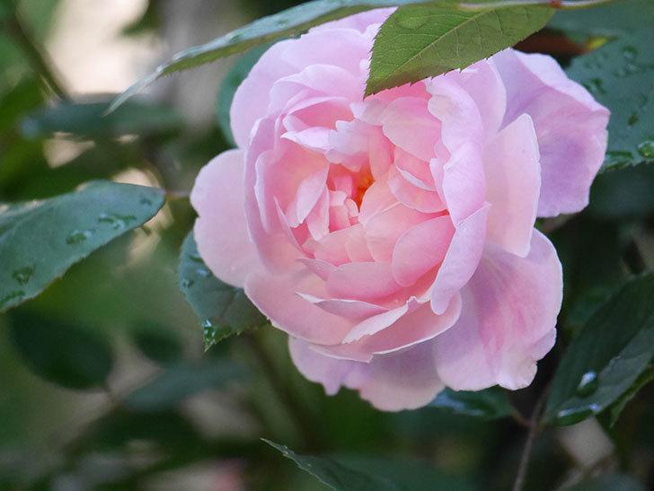 モーティマー・サックラー(Mortimer Sackler)の花が咲いた。ツルバラ。2021年-020.jpg