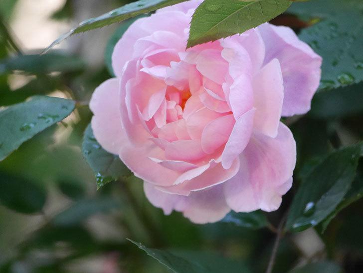 モーティマー・サックラー(Mortimer Sackler)の花が咲いた。ツルバラ。2021年-021.jpg