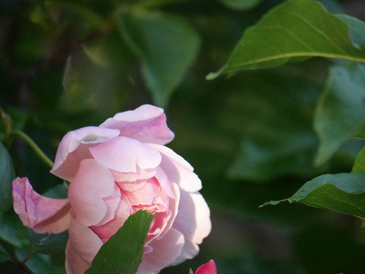 モーティマー・サックラー(Mortimer Sackler)の花が咲いた。ツルバラ。2021年-023.jpg
