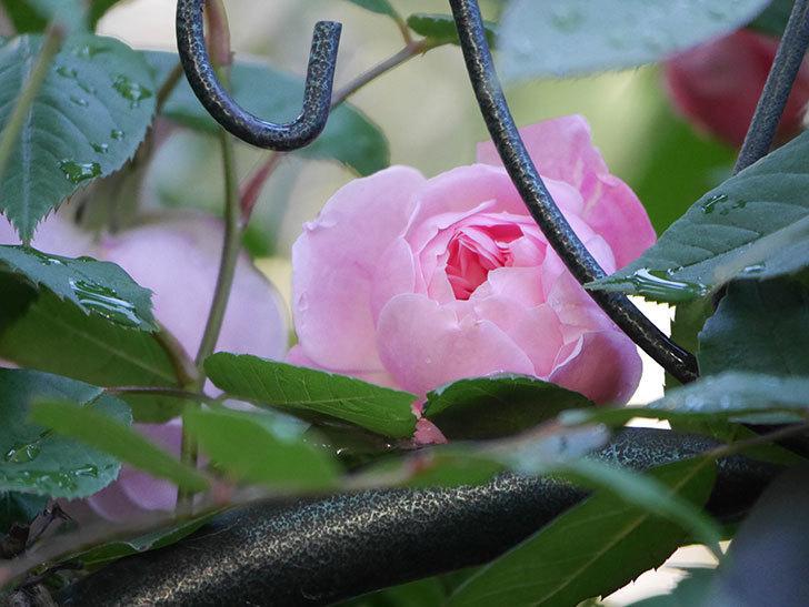 モーティマー・サックラー(Mortimer Sackler)の花が咲いた。ツルバラ。2021年-024.jpg