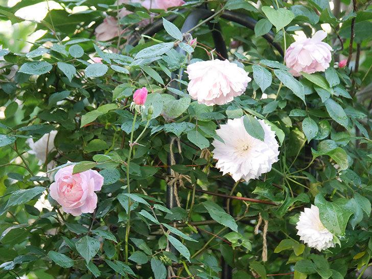 モーティマー・サックラー(Mortimer Sackler)の花が咲いた。ツルバラ。2021年-025.jpg