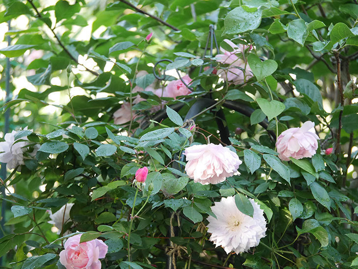 モーティマー・サックラー(Mortimer Sackler)の花が咲いた。ツルバラ。2021年-026.jpg