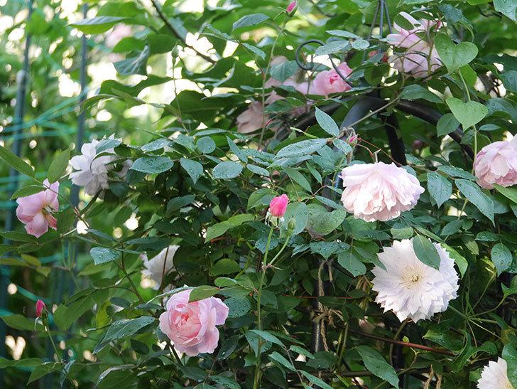 モーティマー・サックラー(Mortimer Sackler)の花が咲いた。ツルバラ。2021年-027.jpg