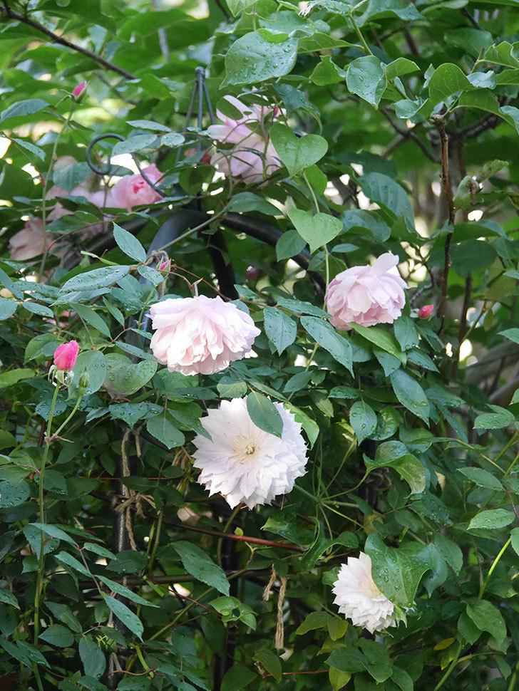 モーティマー・サックラー(Mortimer Sackler)の花が咲いた。ツルバラ。2021年-028.jpg