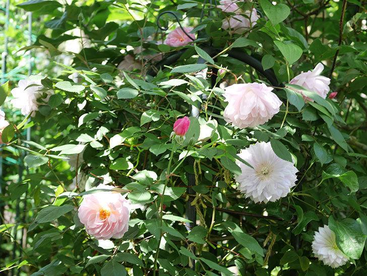 モーティマー・サックラー(Mortimer Sackler)の花が咲いた。ツルバラ。2021年-029.jpg