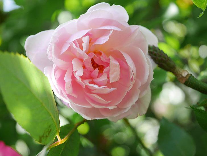 モーティマー・サックラー(Mortimer Sackler)の花が咲いた。ツルバラ。2021年-030.jpg