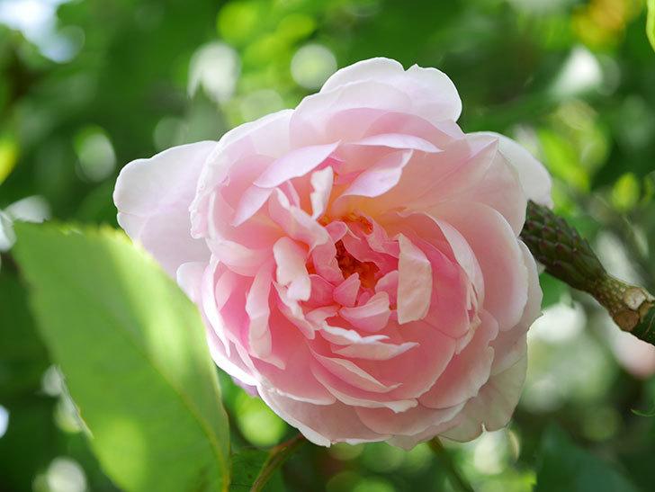 モーティマー・サックラー(Mortimer Sackler)の花が咲いた。ツルバラ。2021年-031.jpg